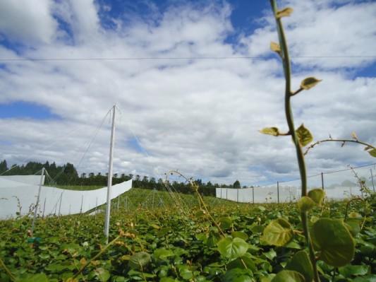 Orchard. Kiwis.