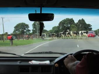 Piquete de vacas.
